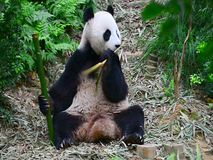 Panda eat food stock footage
