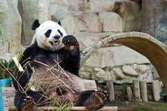 Panda eating. Royalty Free Stock Photos