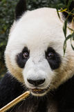 Panda Eating stockfoto