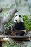 Panda Eating Lizenzfreie Stockbilder