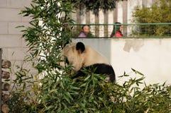 Panda Eating Photo stock