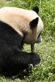 Panda Eating. A panda bear gnawing on some food while sitting in the grass Royalty Free Stock Images