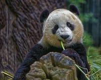 Panda Eating royalty-vrije stock afbeelding