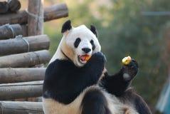 Panda eating apples Royalty Free Stock Images