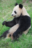Panda eating bamboo. Chengdu research base of giant panda breeding Royalty Free Stock Photos