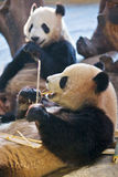 Panda eating bamboo 2 Royalty Free Stock Photo