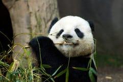 Panda eating bamboo. Very cute panda eating bamboo and relaxing Royalty Free Stock Photography