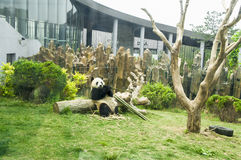 The panda. Is eating bamboo Stock Photography
