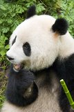 Panda eating bamboo Stock Photo