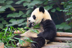 Panda. Eating bamboo in  breeding base, Chengdu, China Royalty Free Stock Photos