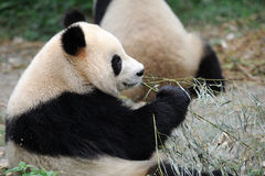 Panda eating bamboo Royalty Free Stock Photography