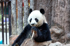 Panda eating bamboo, Chiang Mai Zoo Stock Photo