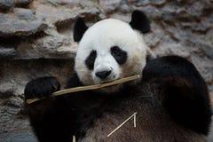 Panda eating bamboo, Chiang Mai zoo Royalty Free Stock Images