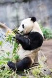 Panda eating bamboo Royalty Free Stock Photos
