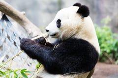 Panda eating bamboo Stock Photography