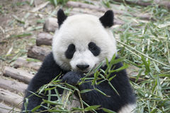 Panda eating bamboo (Giant Panda) Stock Photography