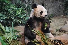 The panda eating bamboo leaves Stock Photo