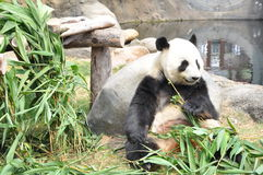 The panda eating bamboo leaves Stock Images