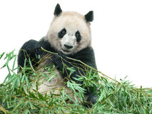 Panda eating bamboo leaves stock photography