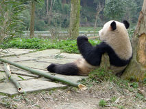 Panda eating bamboo. Located in yaan,China Stock Photography