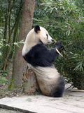Panda eating bamboo Stock Photography