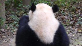 Panda eating bamboo stock video footage