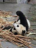 Panda eating bamboo. Panda lying on the floor eating bamboo shoots Stock Photos