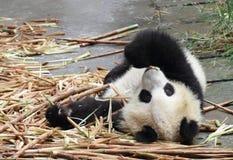 Panda eating bamboo. Panda lying on the floor eating bamboo shoots Royalty Free Stock Photos