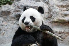 Male Giant Panda in Chiangmai, Thailand Royalty Free Stock Image