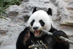 Male Giant Panda in Chiangmai, Thailand Stock Image