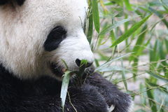 A panda Royalty Free Stock Photos