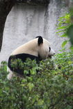 A panda. Eating bamboo shoots Stock Images
