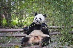 Panda eating bamboo. Panda eating bamboo in the wild Stock Image