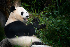 Free Panda Eating Bamboo. Wildlife Scene From China Nature. Portrait Of Giant Panda Feeding Bamboo Tree In Forest. Habitat. Cute Black Royalty Free Stock Images - 88565919