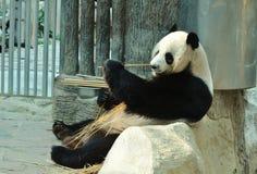 Panda. Eating bamboo at zoo Royalty Free Stock Photo