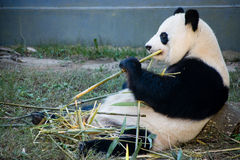 Panda eating bambu Stock Photos