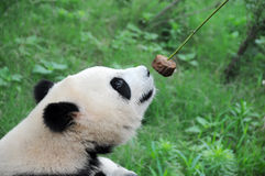 Panda eating cake. Royalty Free Stock Images