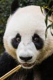 Panda Eating Stock Photo