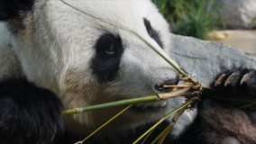 Panda eating close up Royalty Free Stock Image