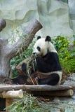 Panda eating Royalty Free Stock Images