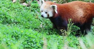Panda Eating Grass rojo almacen de video