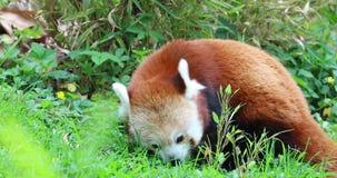 Panda Eating Grass rojo almacen de metraje de vídeo