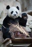 Panda eating. A panda happily eating bamboo Royalty Free Stock Photos