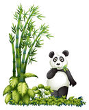 A panda eating. Illsutration of a panda eating on a white background Royalty Free Stock Image