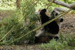 Panda eating and play with bamboo royalty free stock photo