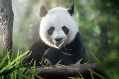 Panda is eating Royalty Free Stock Images