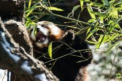 Panda Eating rojo Fotografía de archivo