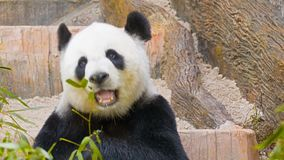 Panda eats bamboo leaves stock footage