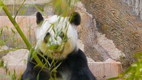 Panda eats bamboo leaves stock footage