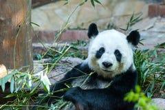 Panda Stock Photography